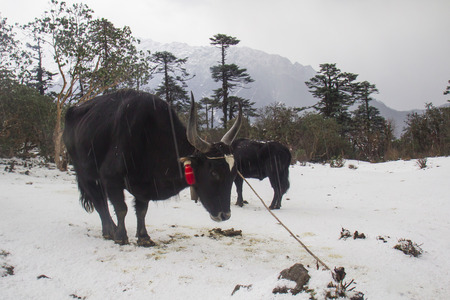 drover: Yak is animals for carry in mountain snow