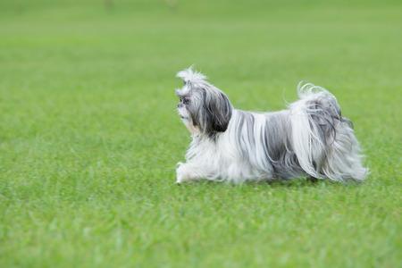 Shih Tzu puppy running on green grass Archivio Fotografico
