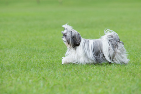 shih tzu: Shih Tzu puppy running on green grass Stock Photo