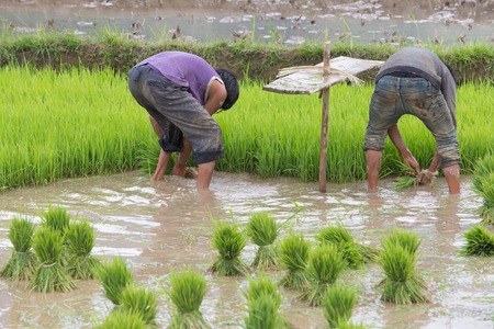 harrowing: Young plant of rice for transplant with a man working in rice terraces , Mu Cang Chai - Vietnam