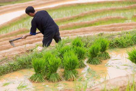 young plant: Young plant with man working transplant background , Mu Cang Chai , Vietnam