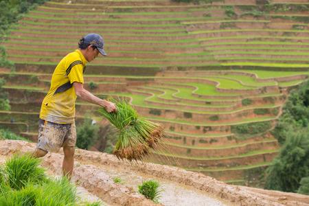 harrowing: Mu Cang Chai - Vietnam, June 12 ; Farmer of Mhong working transplant in rice terraces in water season, June 12 , 2015. Mu Cang Chai - Yen Bai , Vietnam .