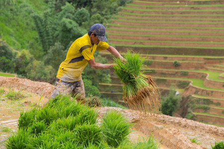 harrowing: Mu Cang Chai - Vietnam, June 12 ; Farmer of Mhong working transplant in rice terraces in water season, June 12 , 2015. Mu Cang Chai - Yen Bai , Vietnam .