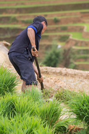 young plant: Young plant on field preparing transplant in water season, Mu Cang Chai , Vietnam Stock Photo
