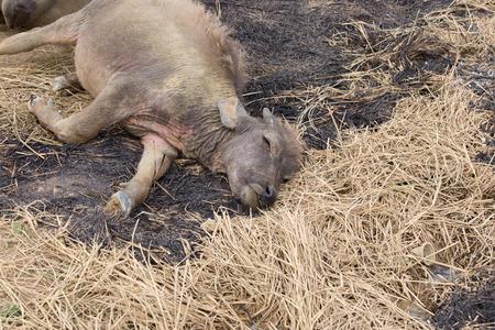 indian buffalo: Buffalo sickness