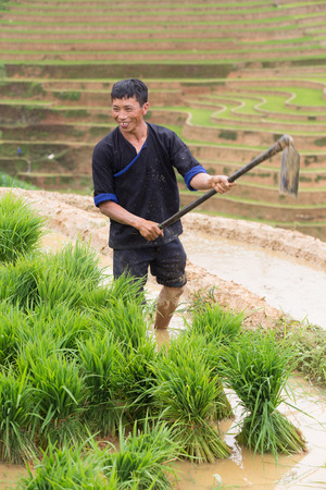 young plant: Mu Cang Chai , Vietnam- June 12; Man of Hmong working with young plant on field preparing transplant in water season on June 12,2015.Mu Cang Chai , Vietnam Editorial