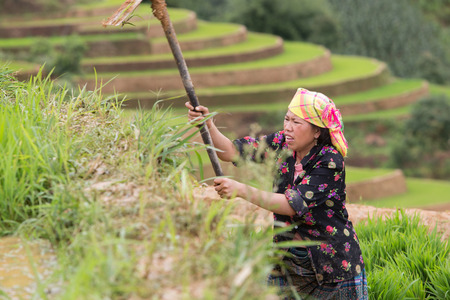 young plant: Mu Cang Chai , Vietnam- June 12; Women of Hmong working with young plant on field preparing transplant in water season on June 12,2015.Mu Cang Chai , Vietnam