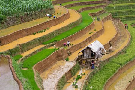 Mu Cang Chai, Vietnam- June 12 ; Group of Hmong  working transplant in water season on June 12 , 2015 . Mu Cang Chai , Vietnam Editoriali
