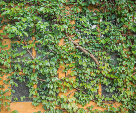 climbing plant: Close up window on green wall with climbing plant