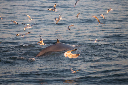 overturn: The dorsal fin of the Brydes whale, whale in gulf of Thailand Stock Photo