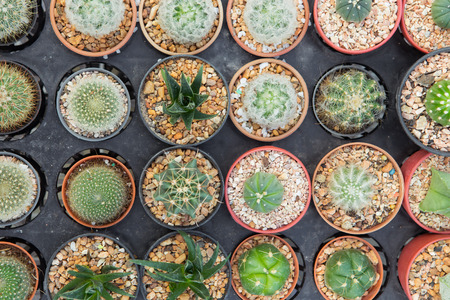 rid: Top view mini cactus in pot Stock Photo