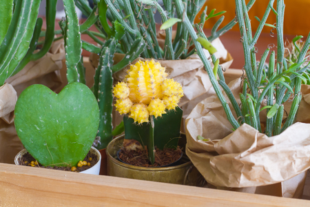 peyote: Yellow cactus in pot with another cactus in box wood