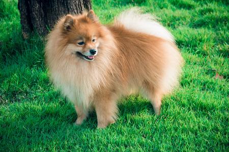 Pomeranian standing in grass, portrait