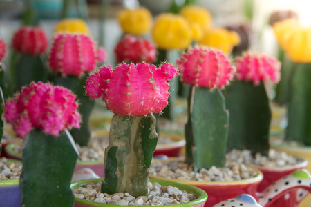 Beautiful cactus in small pot  with sunlight Stock Photo