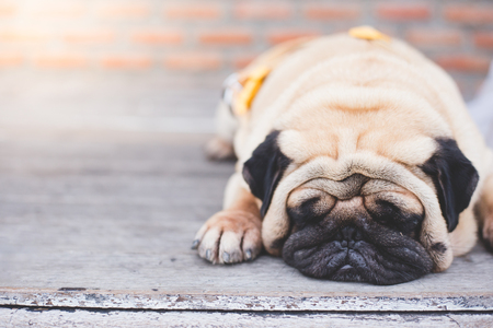 Pug dog lazy and happy on wood ground with sunlight
