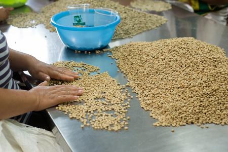 Granos de café crudo verde que se clasifican por el agricultor en Tailandia