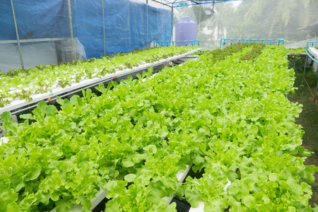 Hydroponic lettuces in hydroponic pipe. Hydroponic vegetable farm