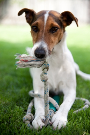 Cute puppy playing with a rope photo