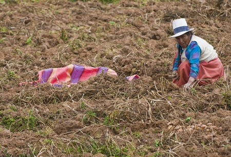 SACRED VALLEY,  PERU - MAY 26 : Peruvian woman in a potato harvest in the Andes of Peru