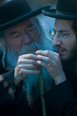 JERUSALEM - OCTOBER 10 2011 : An ultra-orthodox Jewish men inspects a Lulav Stock Photo - 10839122