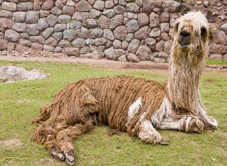 alpaca: Close up of an alpaca seating