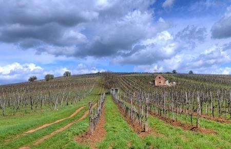Vineyard in the Tokaj hills in North Hungary photo