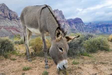 burro: A wild burro in the Nevada desert