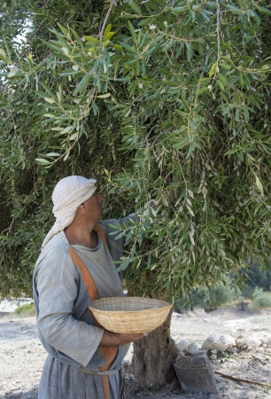 crist: NAZARETH, ISRAEL - OCT 15 : Palestinian farmer harvesting olive tree in October 15 2012 at Nazareth Village, historical re-creation of Nazareth as it was at the time of Christ