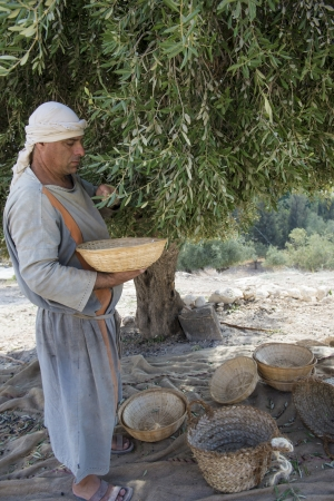 NAZARETH, ISRAEL - OCT 15 : Palestinian farmer harvesting olive tree in October 15 2012 at Nazareth Village, historical re-creation of Nazareth as it was at the time of Christ Stock Photo - 16768289