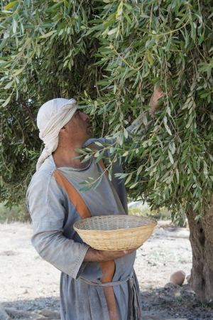 NAZARETH, ISRAEL - OCT 15 : Palestinian farmer harvesting olive tree in October 15 2012 at Nazareth Village, historical re-creation of Nazareth as it was at the time of Christ Stock Photo - 16994321