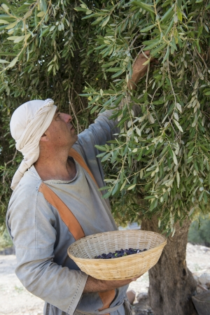 NAZARETH, ISRAEL - OCT 15 : Palestinian farmer harvesting olive tree in October 15 2012 at Nazareth Village, historical re-creation of Nazareth as it was at the time of Christ Stock Photo - 17003734