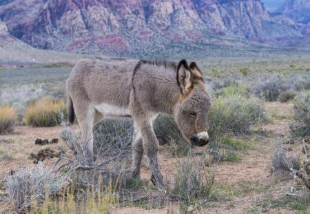 burro: A young wild burro in the Nevada desert