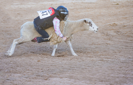 busting: LAS VEGAS - MAY 16 : A boy riding on a sheep during a Mutton Busting contest at the Helldorado days Rodeo , A Professional Rodeo held in Las Vegas , Nevada on May 16 2014