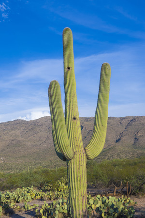 sonoran: Giant Saguaro cactus in Sonoran desert, southern Arizona