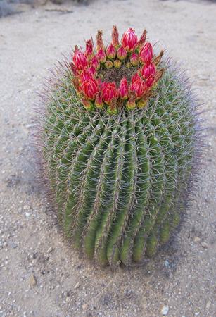 sonoran: Cactus blooms in the Sonoran desert, southern Arizona Stock Photo