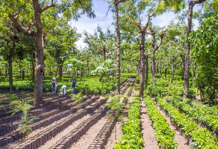 caffiene: ANTIGUA , GUATEMALA - JULY 27 : Coffee plantation in Antigua Guatemala on July 27 2015. Coffee is an important element of Guatemalas economy