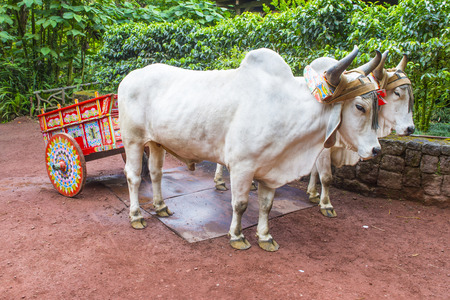 costa rican: Costa Rican Ox towing a traditional coffee cart