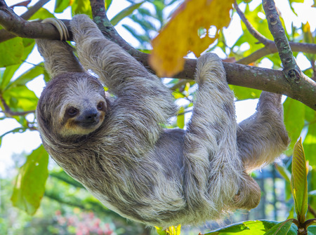 Sloth climbing a tree in costa rica rainforest