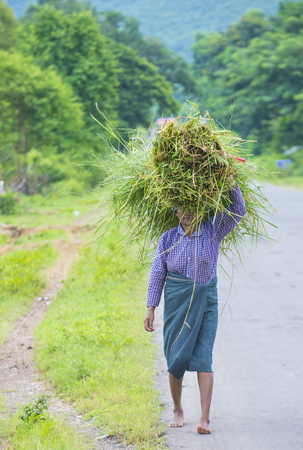 sep: SHAN STATE , MYANMAR - SEP 06: Burmese farmer working on a field in Shan state Myanmar on September 06 2017 , agriculture is the main industry in Myanmar