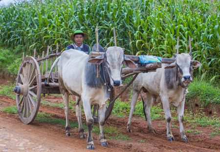 SHAN STATE , MYANMAR - SEP 06: Burmese farmer riding ox cart in Shan state Myanmar on September 06 2017 , Ox carts are widely used in Myanmar rural areas
