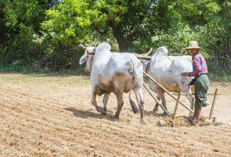 BAGAN , MYANMAR - SEP 06: Burmese farmer plowing with oxen in village near Bagan Myanmar on September 06 2017 , agriculture is the main industry in Myanmar