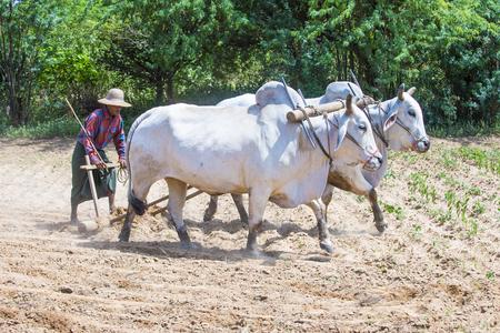 Bagan, Myanmar - wrz 06: Birmański rolnik orki wołami w wiosce w pobliżu Bagan Myanmar 06 września 2017 r., rolnictwo jest głównym przemysłem w Myanmar Publikacyjne