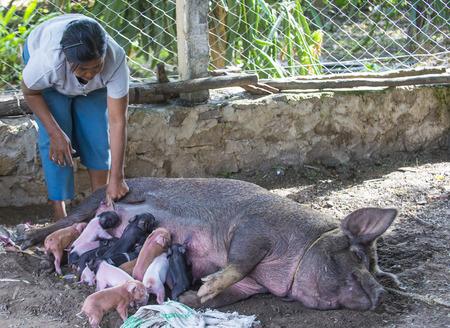 BAGAN, MYANMAR, SEP 06 : A pig suckling piglets in a village near Bagan on September 06 2017 報道画像