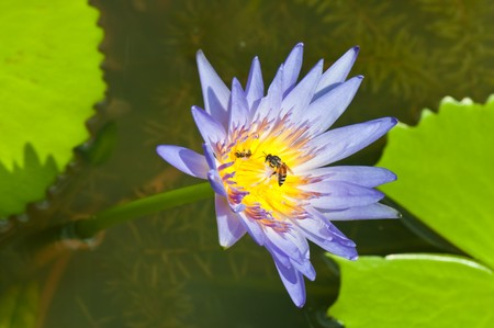 Lotus with bee in the garden. photo