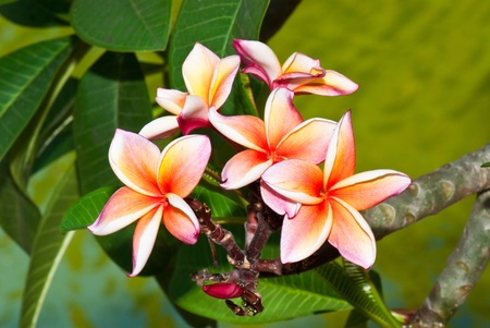 Close-up of beautiful pink plumeria on tree, Thailand. Stock Photo - 8281181