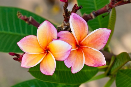 Close-up of two beautiful pink plumeria , Thailand.