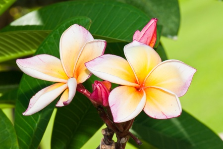 Close-up of beautiful pink plumeria, Thailand. Stock Photo