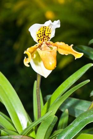 Close-up of Paphiopedilum (ladys slipper) in garden, Thailand. photo