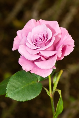 Close-up of pink rose in garden, Thailand. Stock Photo