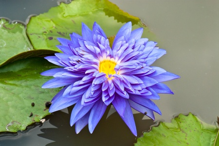 Close-up of blue lotus in garden, Thailand. Stock Photo - 8281369